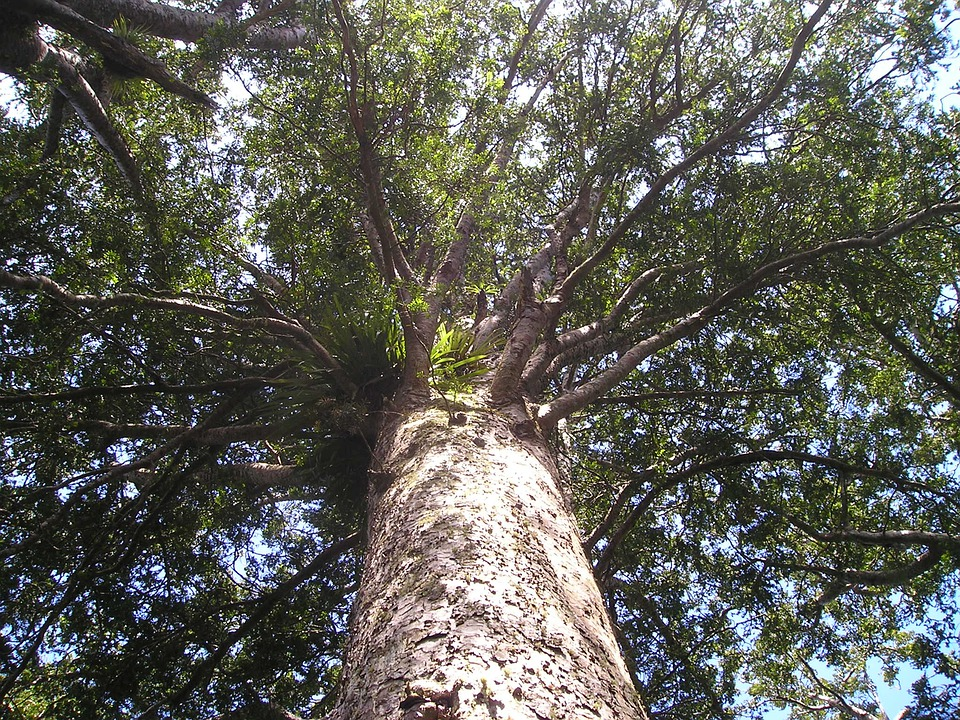 カウリ, 木, 巨木, 巨大な私, 巨大な, ニュージーランド