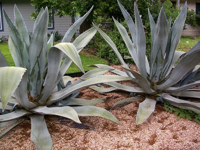 agave kaktus pflanze kostenloses foto auf pixabay. Black Bedroom Furniture Sets. Home Design Ideas