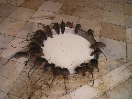 India Rat Temple Rat Holy Food Eat India I