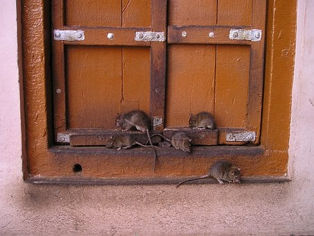 Rat, India, Rat Temple, Holy, Rat, Rat