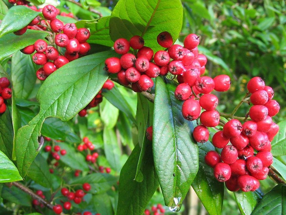 free photo rowan tree berries red scarlet free image. Black Bedroom Furniture Sets. Home Design Ideas