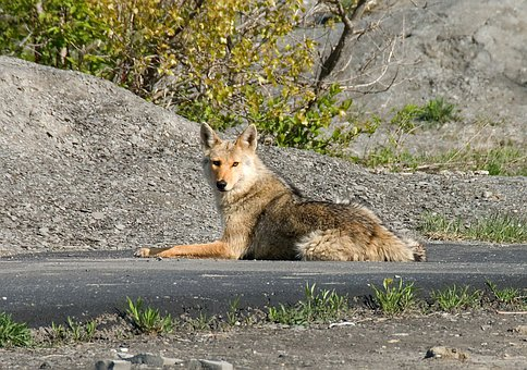 Coyote Quadruped Animal Usa Street Lying C