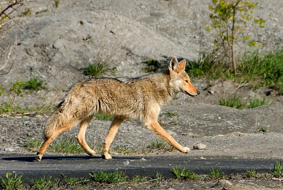 Coyote Free pictures on Pixabay
