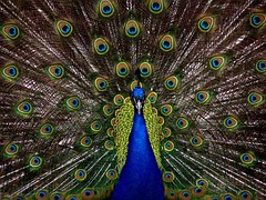 Peacock Feather Colorful Free Photo On Pixabay