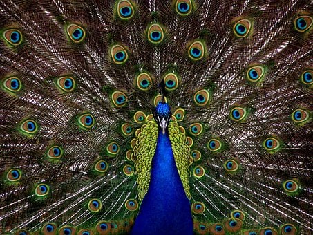 Peacock, Bird, Plumage, Display, Full