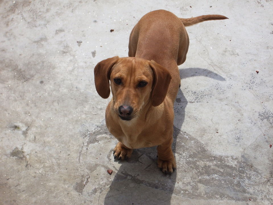 Brown Weenie Dog