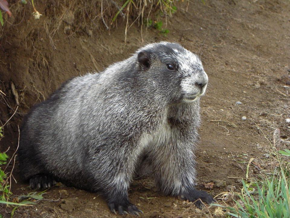 Free photo: Marmot, Mammal, Animal, Mountain - Free Image