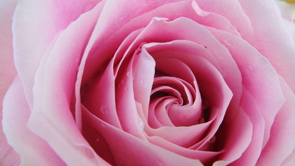 Pink Rose Flower Close Free Photo On Pixabay