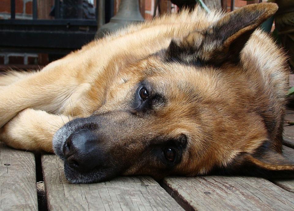 german shepherd resting low stamina
