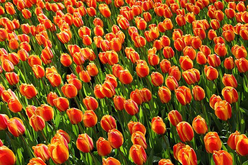 Tulips Tulip Orange Red Background