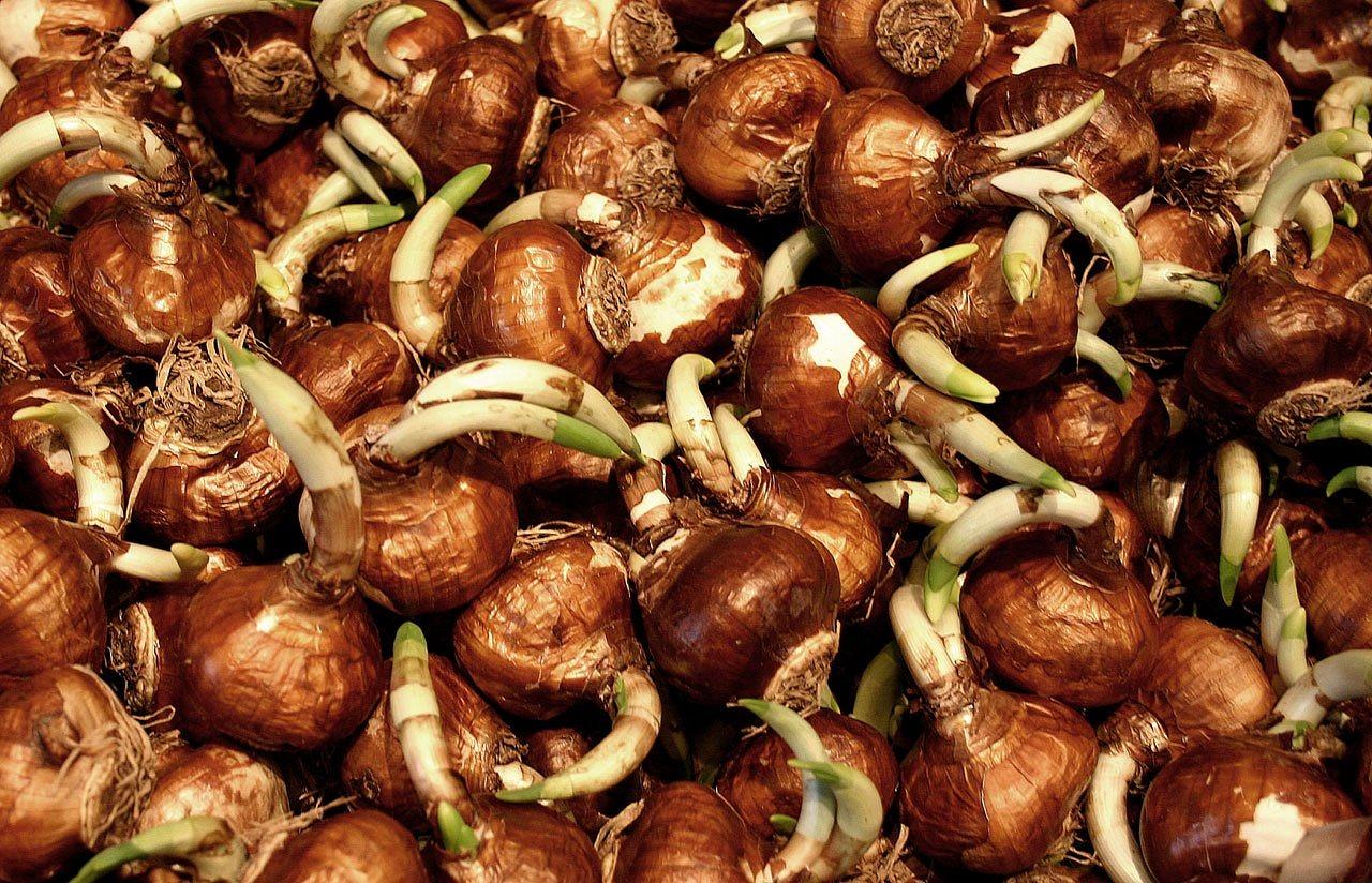 Фото всех цветов и их луковицы