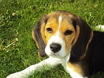 Dogfood in Mississippi beagle puppy 2681 150
