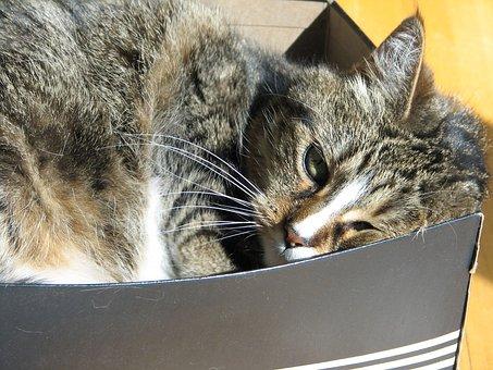 Cat, Feline, Tabby, Box, Sleeping