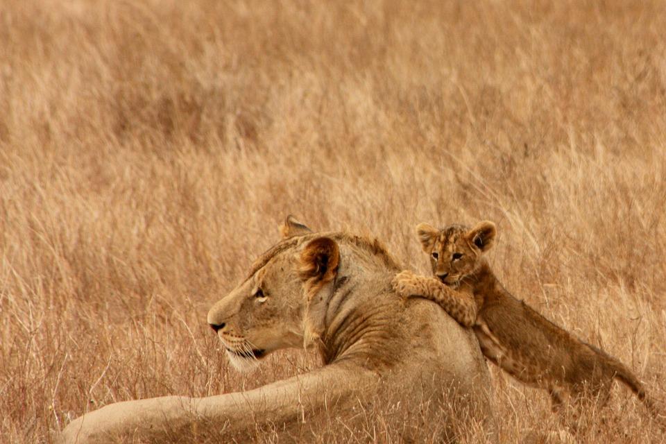 トップコレクション】 ライオン 赤ちゃん 画像 , 人気の画像