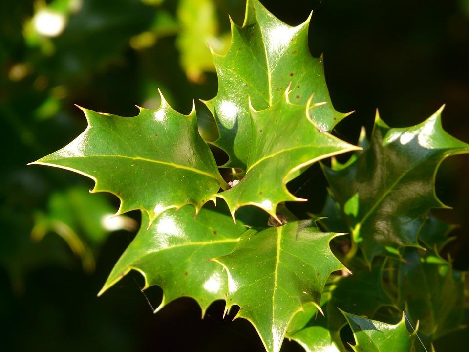 free photo holly leaf plant green sting free image. Black Bedroom Furniture Sets. Home Design Ideas