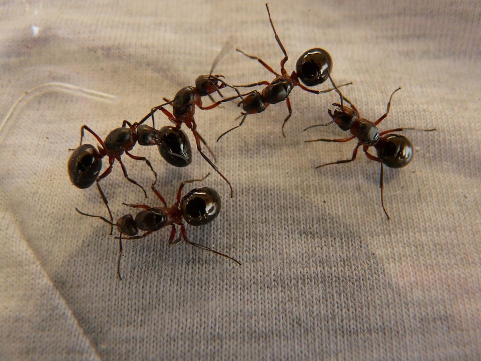 Forest Ant Queens, Les Fourmis, Les Fourmis Des Bois