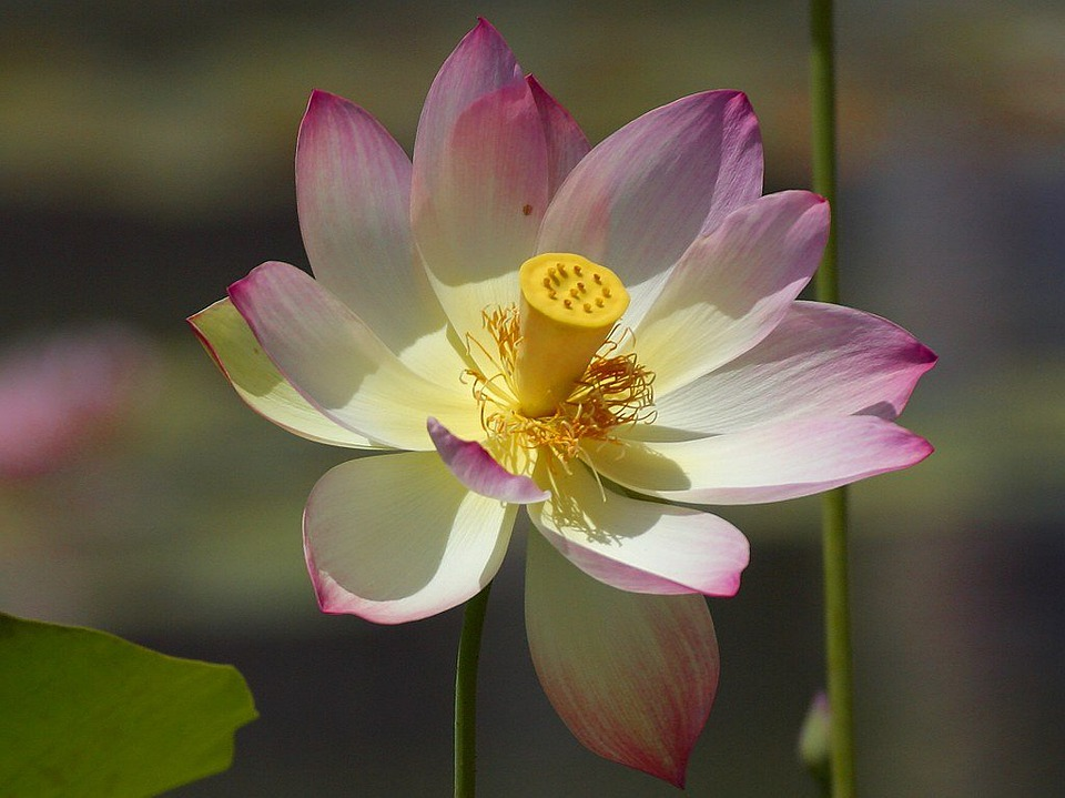 free photo lotus blossom, flower, nature  free image on pixabay, Natural flower