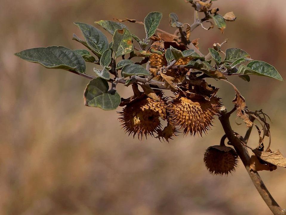 Prächtig Kastanie Trocken Samen - Kostenloses Foto auf Pixabay @QO_99