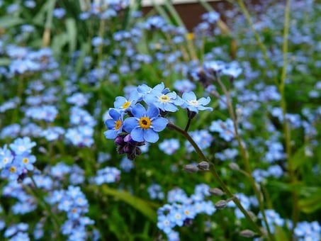 Forget Me Not Images Pixabay Download Free Pictures