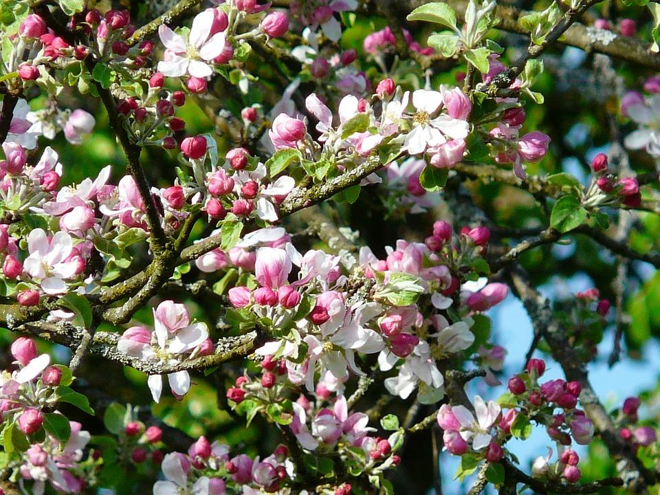Bloesem appelboom