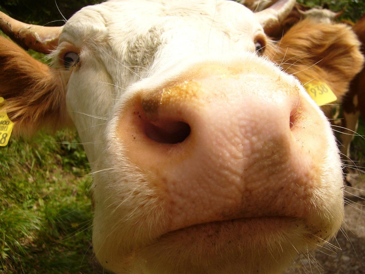 путать почему коровы истошно мычать на закате карте