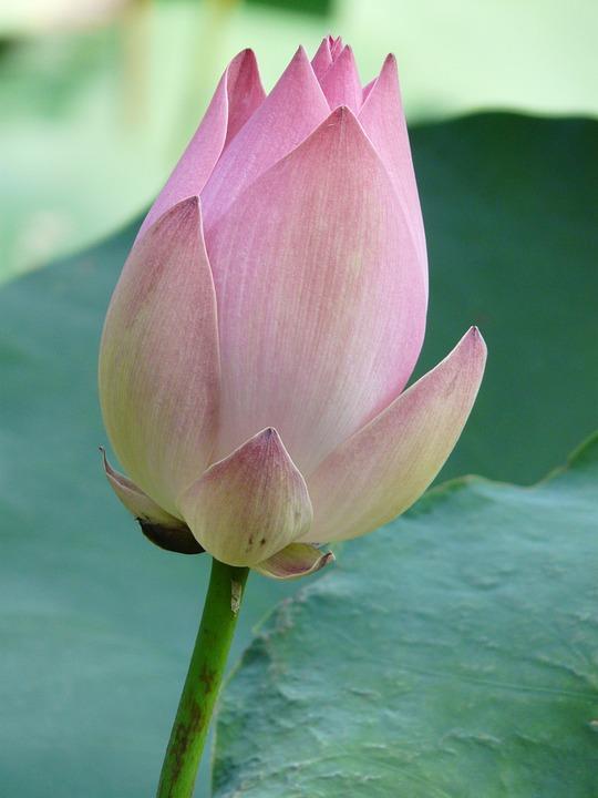 kostenloses foto lotus lotusbl te bl te blume kostenloses bild auf pixabay 4440. Black Bedroom Furniture Sets. Home Design Ideas