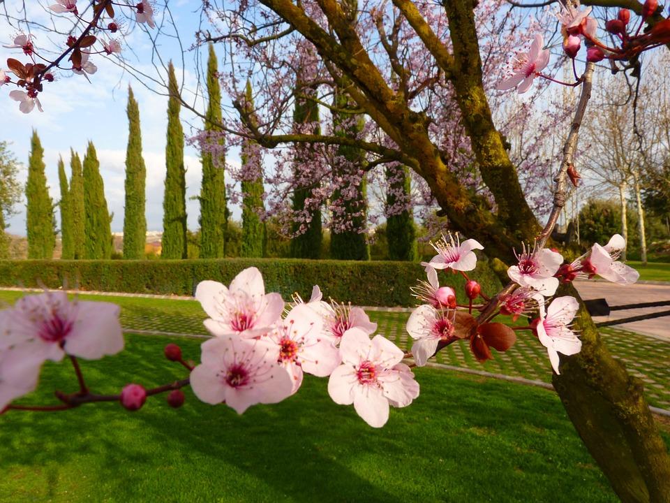 Foto gratis flor de almendro flor rbol rosa imagen - Arbol de rosas ...