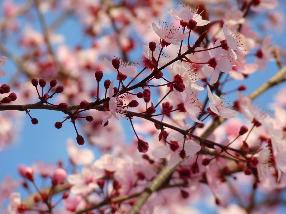 almond-blossom-5290_960_720.jpg