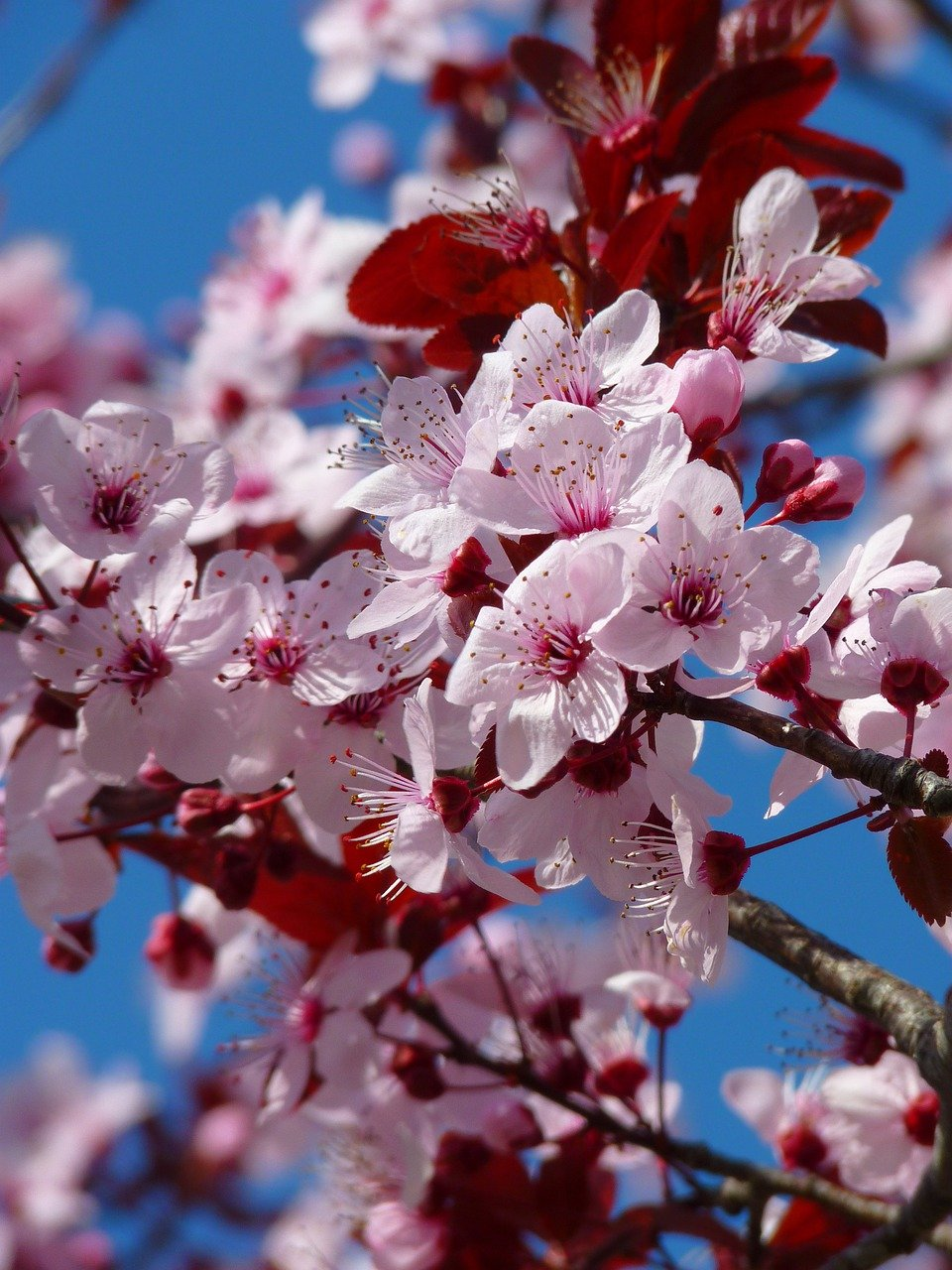 Картинки вишня расцветает