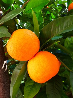 Oranges, Tree, Leaves, Green, Leaf