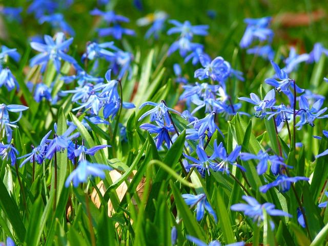 Mavi yldz scilla iek bahar pixabayde cretsiz fotoraf mightylinksfo