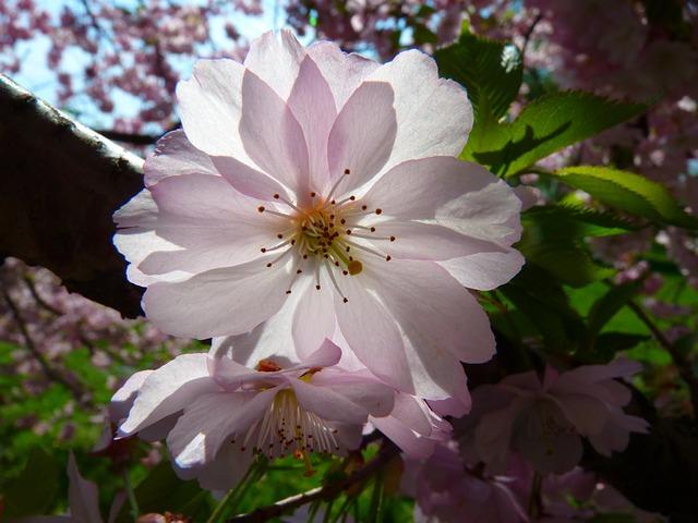 Japanese Cherry Trees Blossom · Free Photo On Pixabay