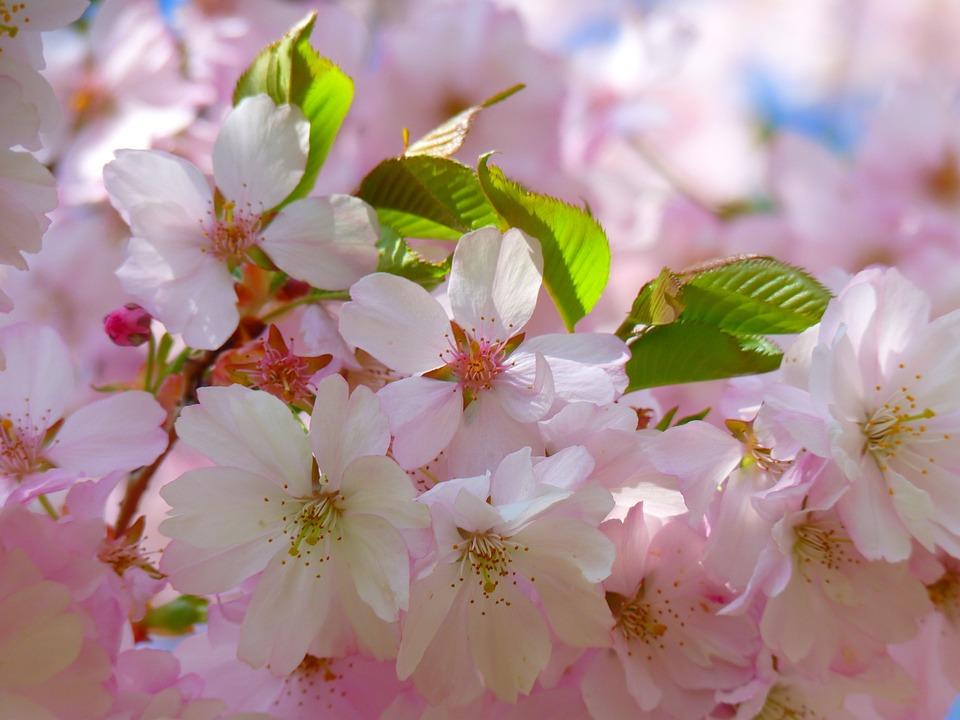 Photo gratuite: Cerisiers Japonais, Fleur - Image gratuite sur Pixabay - 6343