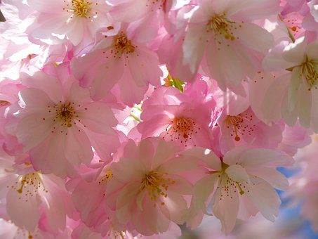 Cerisiers Japonais, Fleur