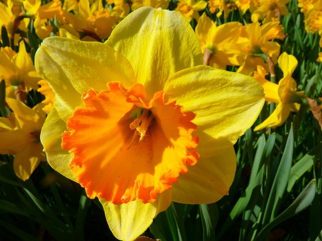 photo gratuite narcisse jonquille fleur jaune image gratuite sur pixabay 6363. Black Bedroom Furniture Sets. Home Design Ideas