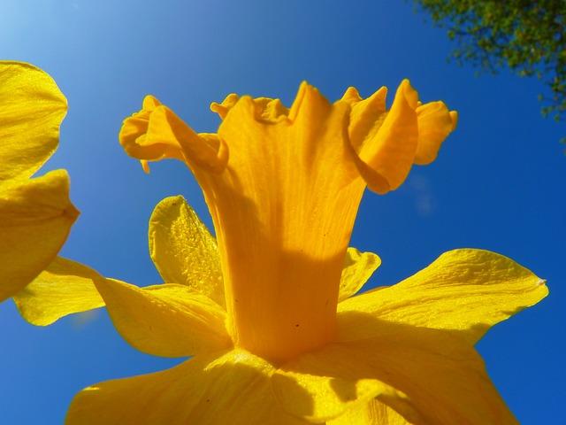 Top Foto gratis: Narciso, Fiore, Giallo, Primavera - Immagine gratis  EV88