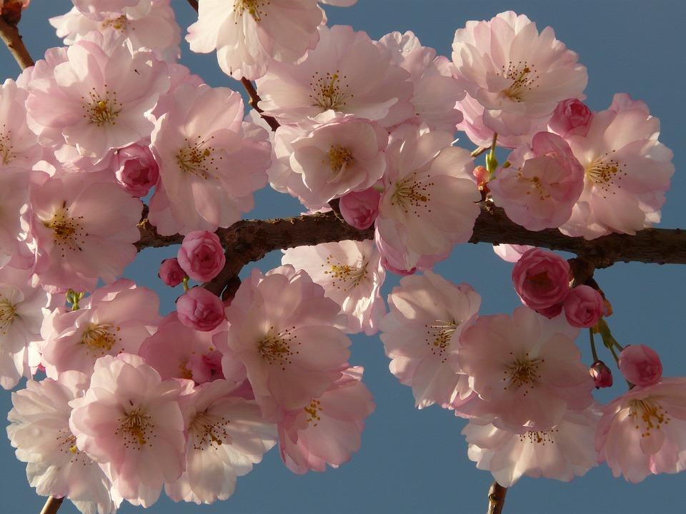 Foto gratis fiore di ciliegio fiore albero immagine for Albero ciliegio