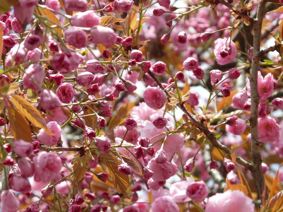 Japanese Cherry Trees, Japanese Flowering Cherry