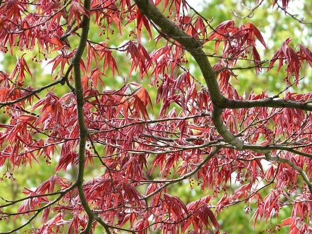 Red Maple Ornamental Plant Fan · Free Photo On Pixabay
