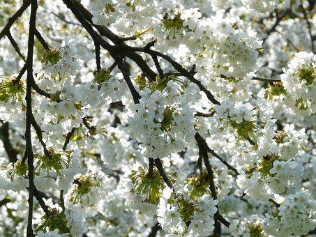 Fleur De Cerisier, Cherry, Cerise, Fleur