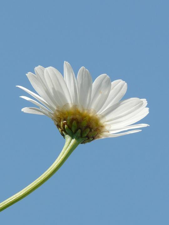Margherita fiore pianta foto gratis su pixabay for Margherita pianta