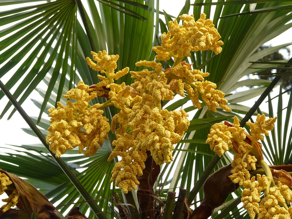 Palm hemp umbrella free photo on pixabay palm hemp palm umbrella palm palm flower palm tree mightylinksfo
