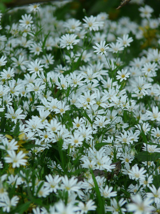 skogsstjärna gratis bilder