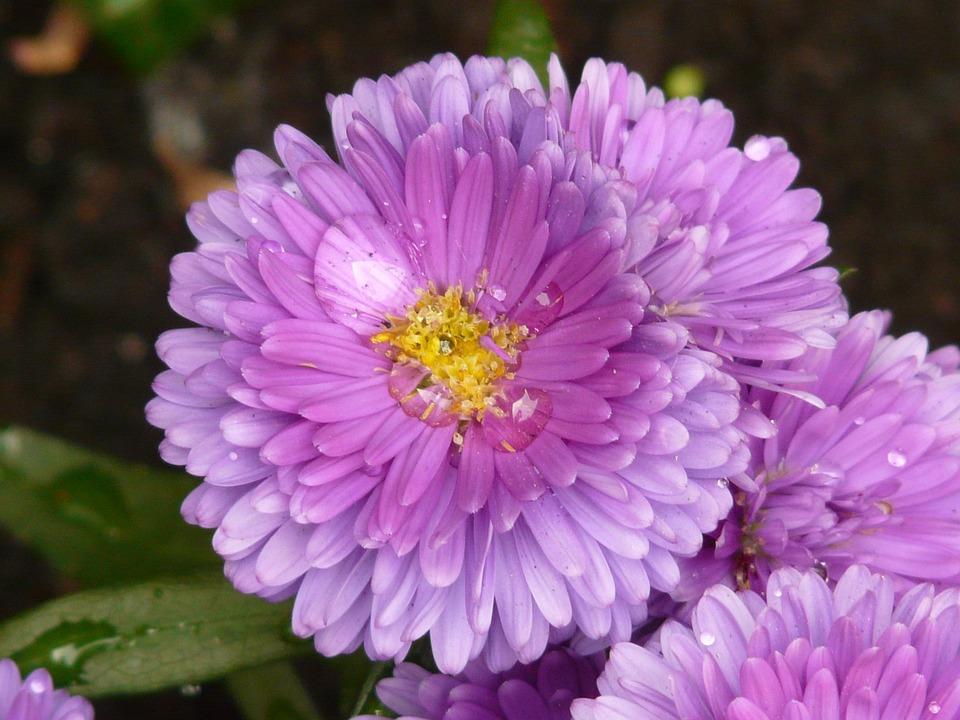 Aster garden flower free photo on pixabay aster garden aster flower plant ornamental plant mightylinksfo