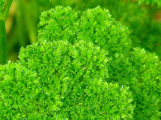 Free Photo Parsley Green Spice Herb Garden Free