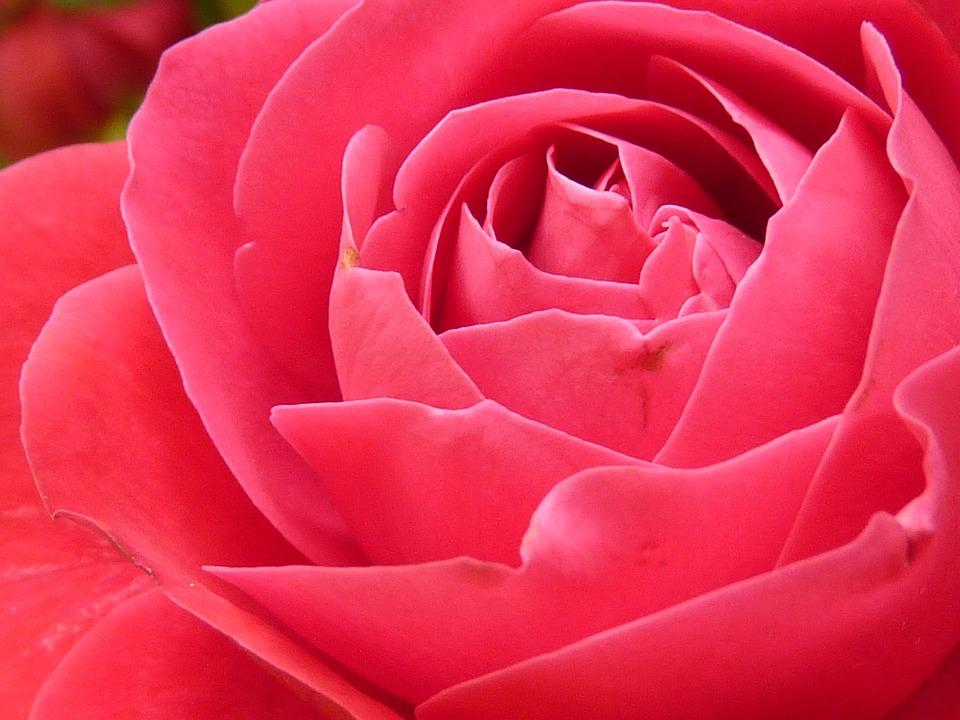 Free Photo: Rose, Rose Bloom, Bloom, Flower