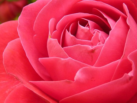Rosa, Fiore Rosa, Fioritura, Fiore