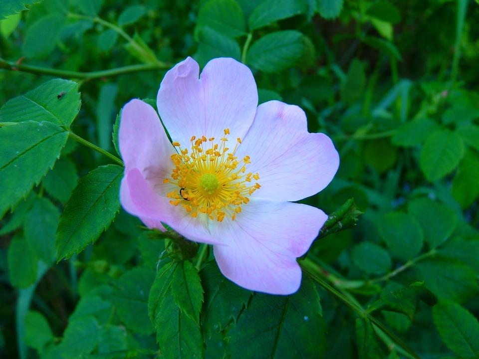rosa selvagem resenha