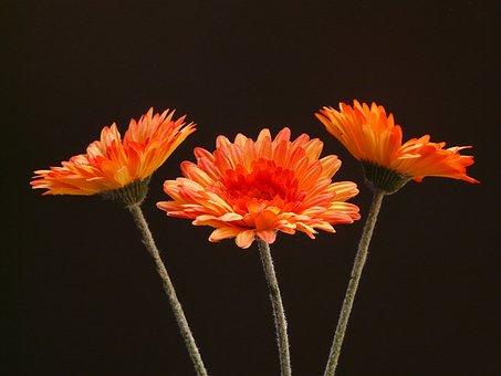Gerbera, Virág, Üzem, Kivirul, Art Virág