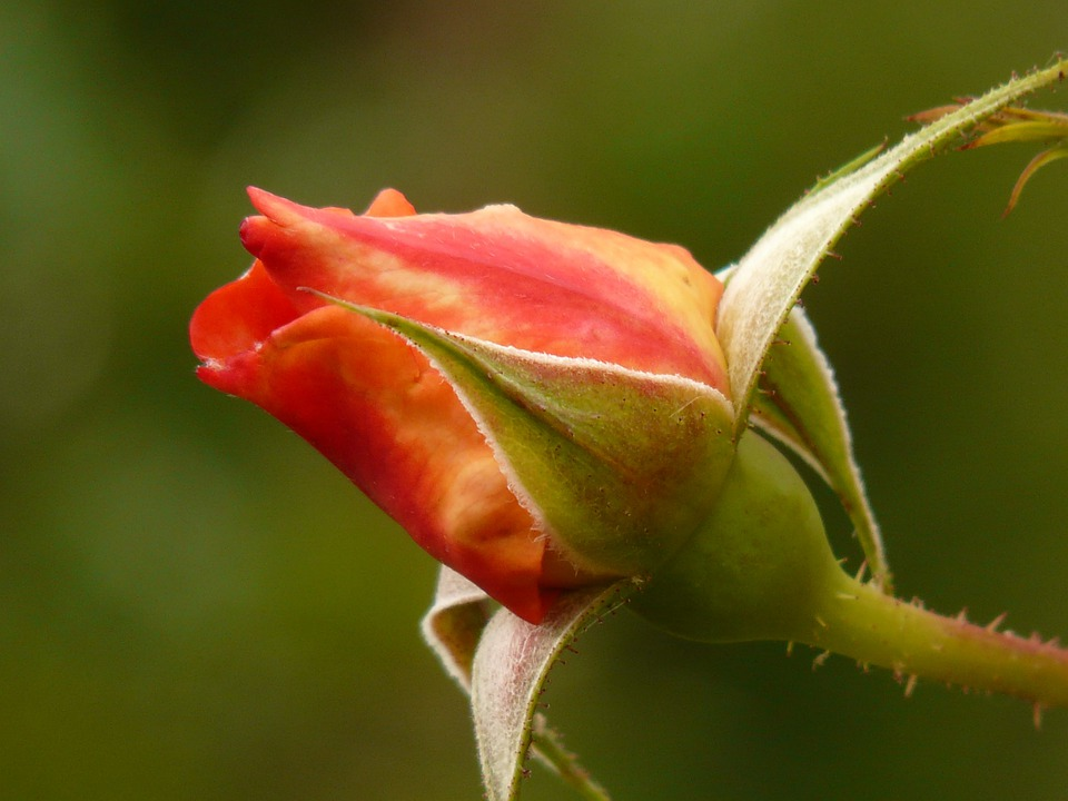 Rose Rosebud Blossom Free Photo On Pixabay
